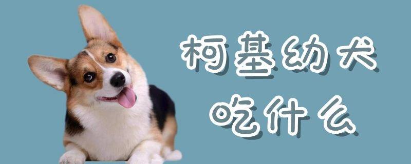 柯基幼犬吃什么